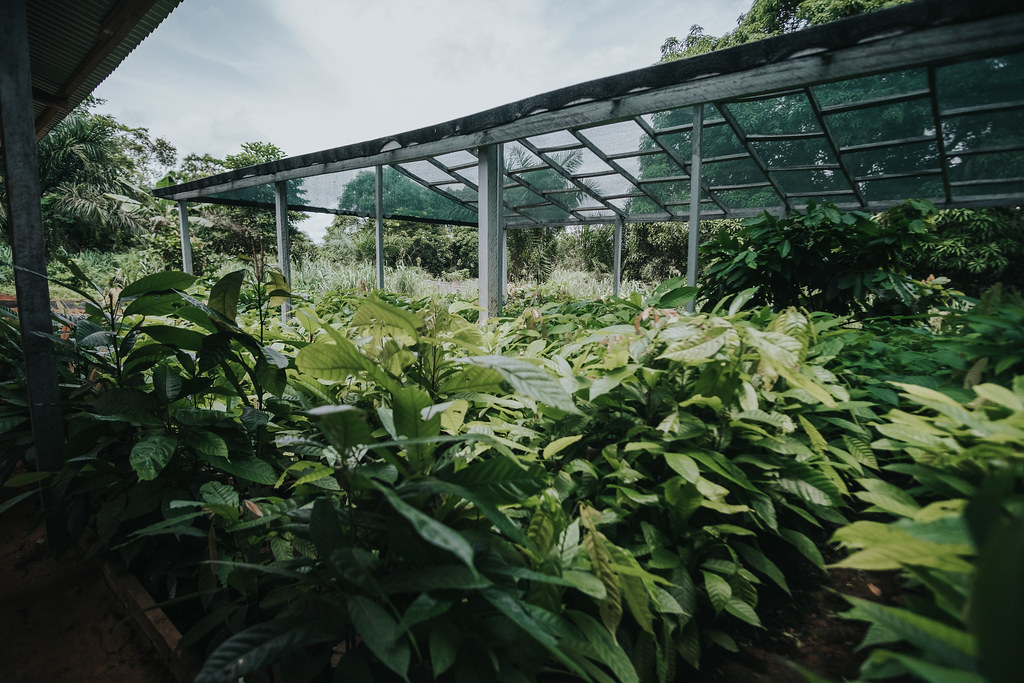 Cocoa Nursery Cifor Knowledge