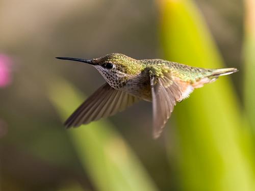 Hummingbird Flight | by Front Range Dad