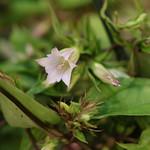Tripterospermum japonicum Maxim.