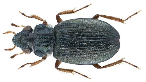 Ochthebius opacipennis Champion, 1920 | by urjsa