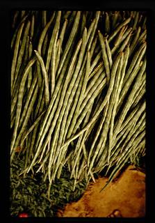 Drum-stick(moringa Oleifera) = ワサビノキ