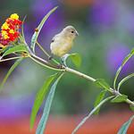 Lesser Gold Finch (Spinus psaltria)