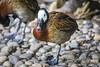 White-faced Whistling Duck by Sheldrickfalls
