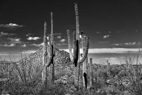 arborescenttreelikecactus blackwhite blueskieswithclouds cactus cactusacrossdesertlandscape cactusflowers canvas capturenx2edited carnegieagigantea colorefexpro day3 desert desertlandscape desertplantlife engelmanspricklypearcactus hikealongvalleyviewoverlooktrail hillpeak intermountainwest landscape lookingsw mountains mountainsindistance mountainsoffindistance nature nikond800e northsonorandesertranges opuntiaengelmannii outside portfolio project365 saguaro saguarocactus saguaronationalpark saguaronationalparktucsonmountaindistrictwest silverefexpro2 sonorandesert southwestbasinsandranges sunny topofsaguarocactus tucsonmountains westtucsonnogalesarea arizona unitedstates