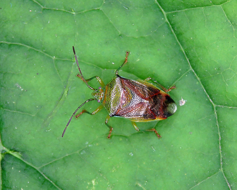 Birch Shieldbug - Elasmostethus interstinctus