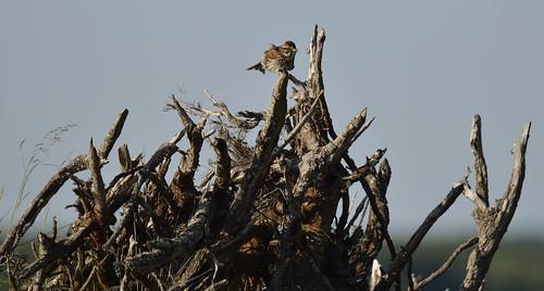 sparrow petrie island 08072015_DSC7291 | by David Villeneuve