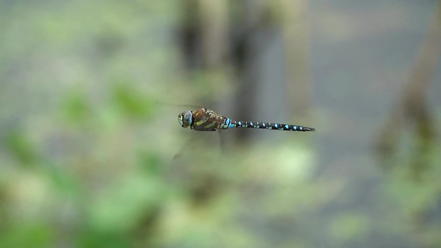 Migrant Hawker in-flight
