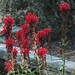Cardinal Flower - Photo (c) John Rusk, some rights reserved (CC BY)