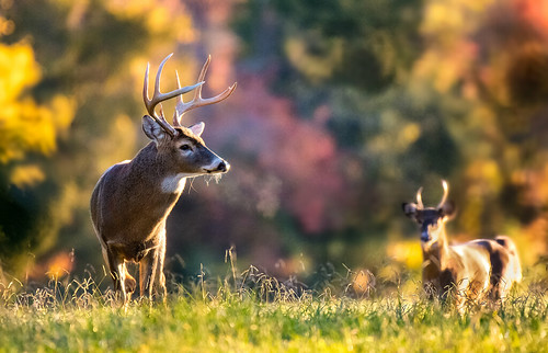 Photo of two bucks in the woods