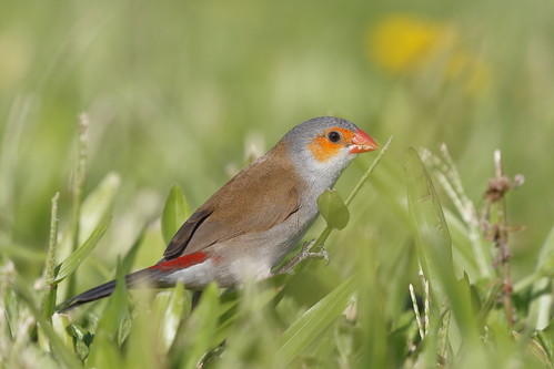 orangecheekedwaxbill estrildamelpoda estrilda melpoda waxbill estrildidfinch finch bird grass feeding feedingbird smallbird maui hawaii nature wildlife canon7dii orangecheeked sp210