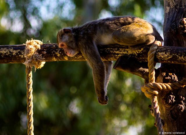 Uno scimmiotto