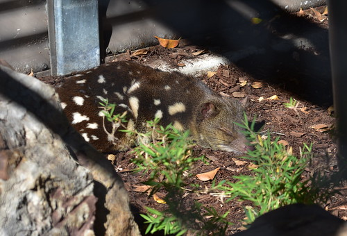 Quoll [Alexandra Park and Zoo,Aug 2015 Bundaberg] | by Dreaming of the Sea