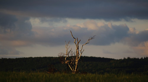 tree träd deadtree dödaträd sky himmel sommarkväll summer sunlit solbelyst eos7dmkii ef70210mmf4macro hornborgarsjön sunsetlight solnedgångsljus