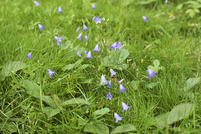 Harebell's in the breeze