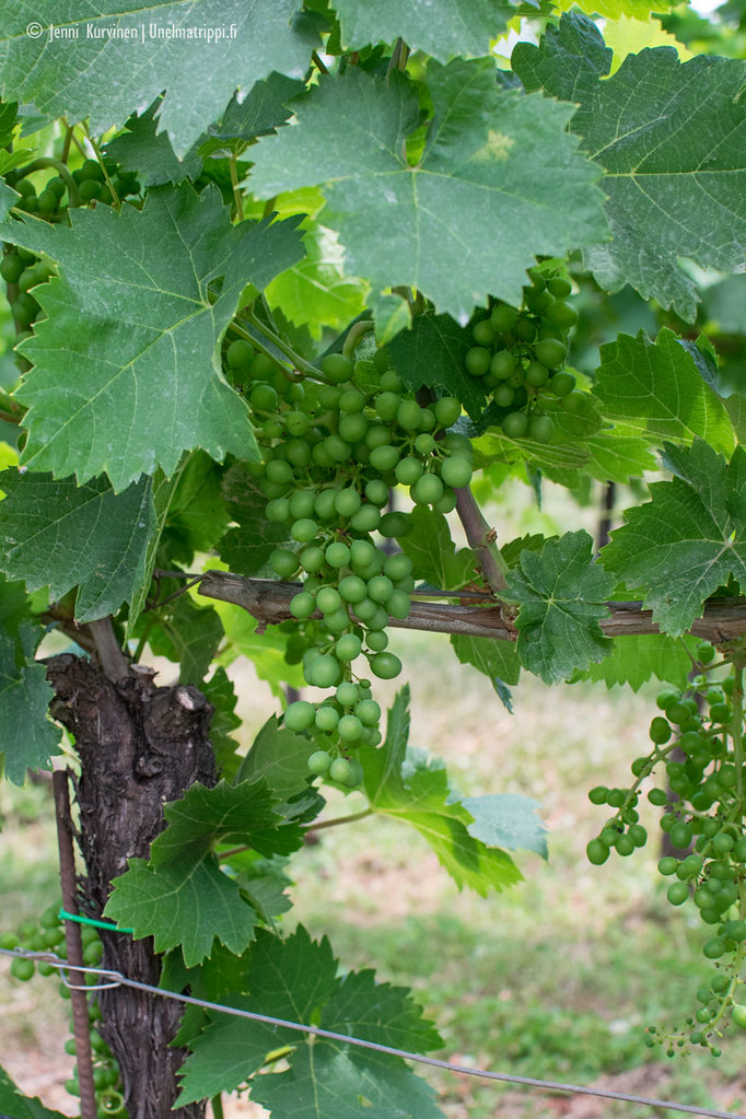 Viinirypäleitä pensaassa