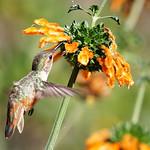 Allen's Hummingbird and Leonotis