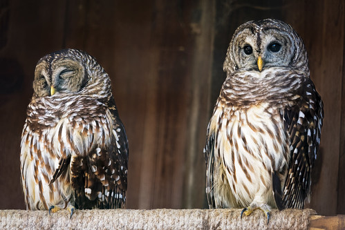 Barred Owl Pair | by Ed Rosack