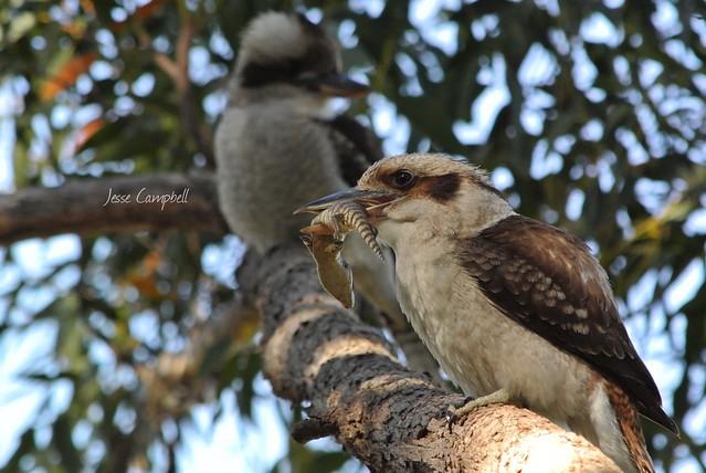Laughing Kookaburra (Dacelo novaeguineae) eating an Eastern Blue Tongue Lizard (Tiliiqua scincoides)