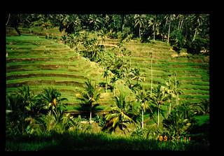 Rice Terrace In Bali = バリの棚田