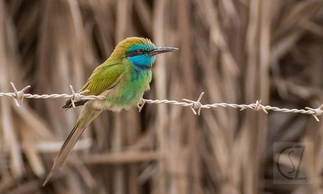 Abejaruco esmeralda / Abellerol verd / Merops orientalis / Green bee-eater