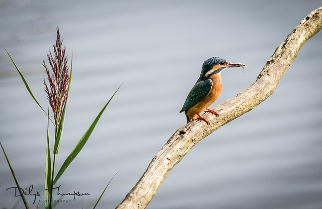 Kingfisher Lunch