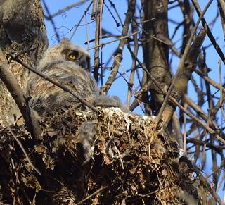 great horned owlet petrie island 03052016_DSC6003 | by David Villeneuve