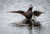 Havelle   Long-tailed Duck by hdahlby