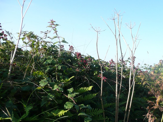 Blackberries ripening in the hedgerow