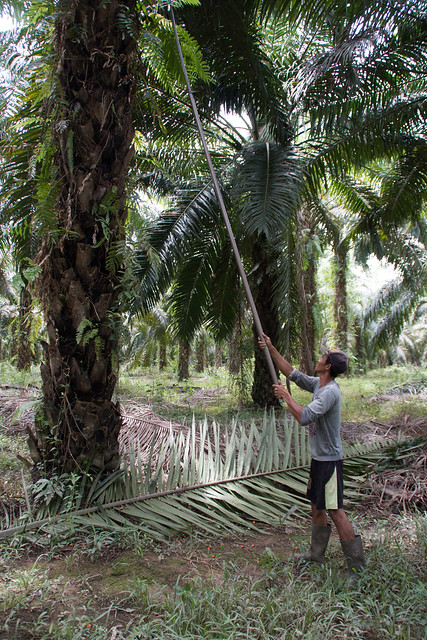 Oil palm harvesting