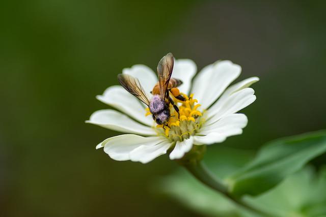 Bee on white zinnia
