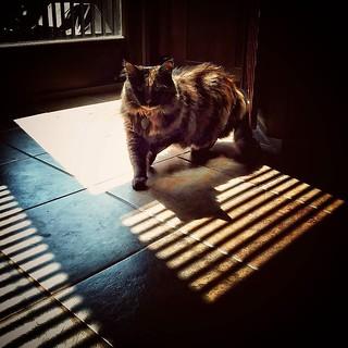 #cat #shadow #line #catwalk #tortie #catstagram #catsinwindows #catsofinstagram #tortoiseshellcat