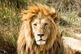 Lion, Serengeti National Park, Tanzania | by stefano6664