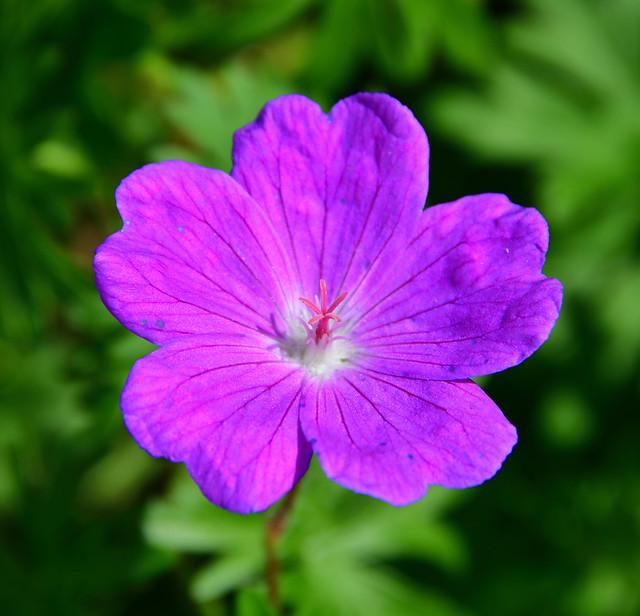 Purple flower - Crane's-Bill