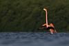Flamenco Americano - American Flamingo by abasora