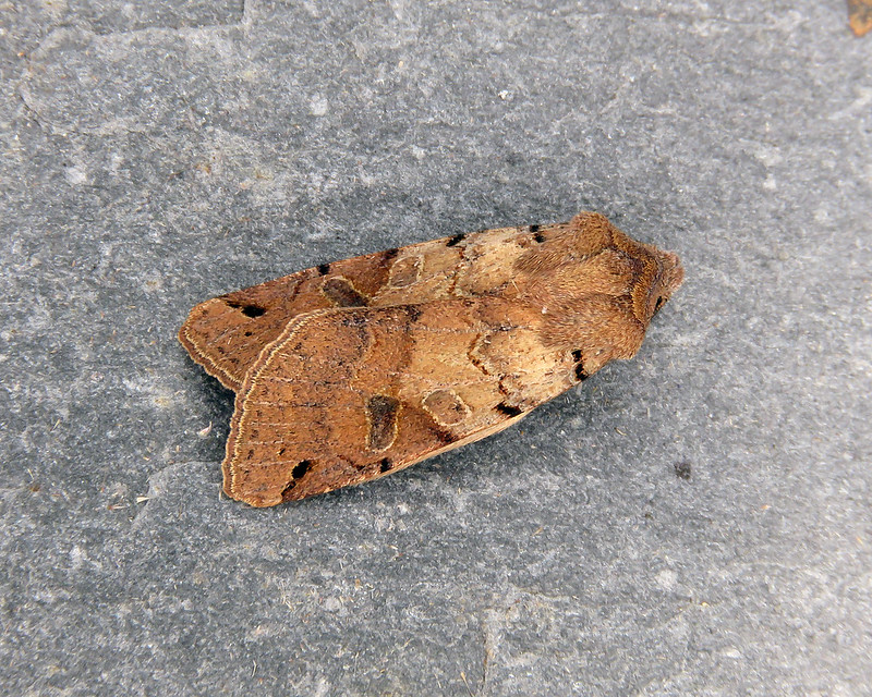73.187 Brown-spot Pinion - Agrochola litura