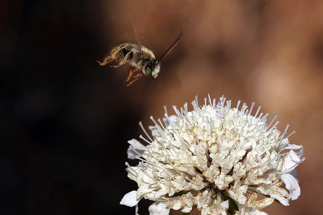 Long-Horned Bee coming to which flower?