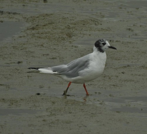 Bonaparte's Gull (Chroicocephalus philadelphia) at Oare Marshes near Faversham, Kent, England - July 2017 | by SaffyH