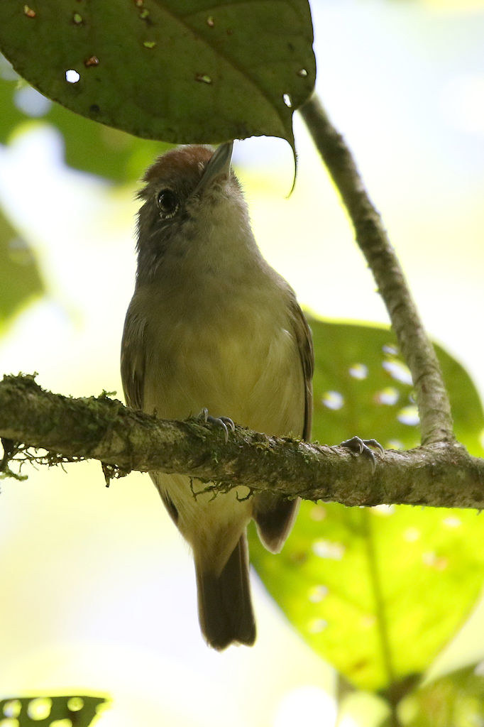 Plain Antvireo - Dysithamnus mentalis - Coclé, Panama - June 15, 2017