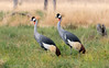 Grey Crowned Cranes (Balearica regulorum) by sharon.verkuilen
