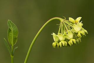 Mead's milkweed | by dankirk22