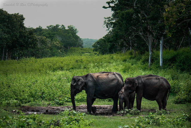 Wild Elephants at Bandipur National park..
