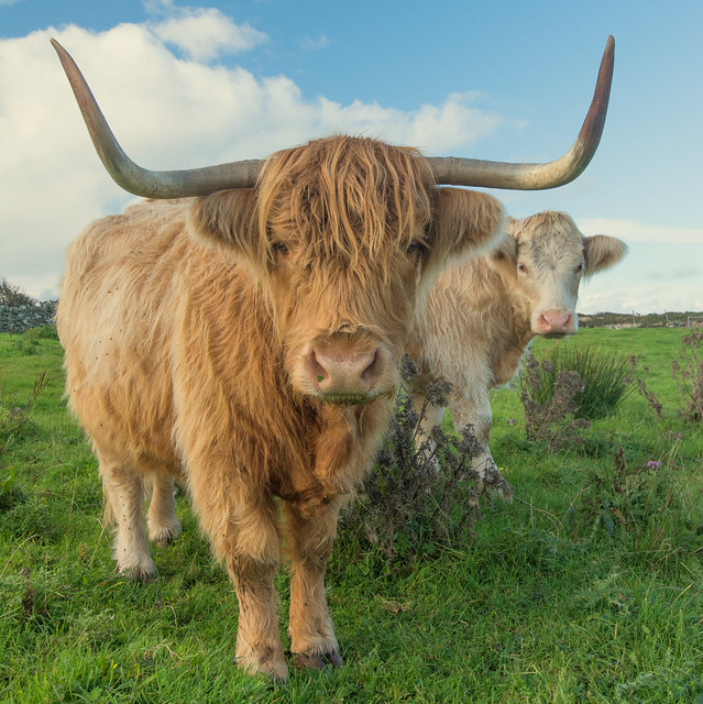 Big Horns Short Legs ... Highland Cow