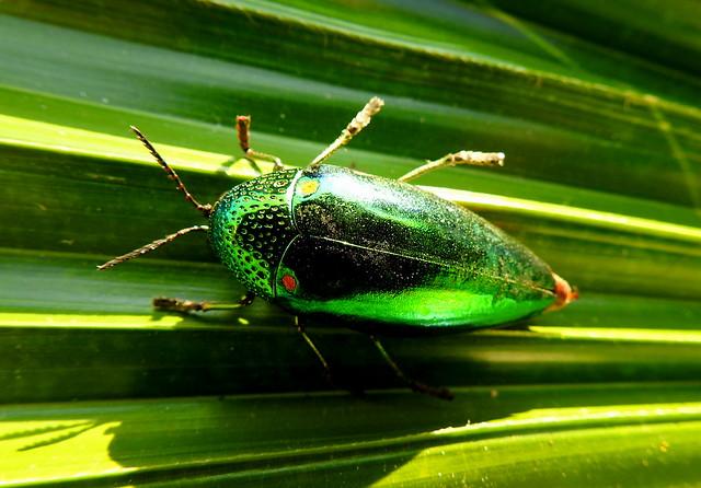 Real Jewel Beetle Outside Hua Hin - Thailand