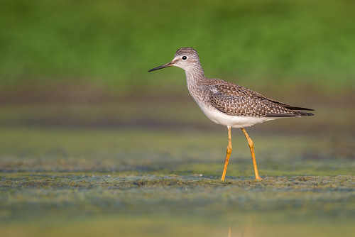 shorebird portrait wildlife nature bird yellowlegs legs green migration lesseryellowlegs water sandpiper fortwashington pennsylvania unitedstates us nikon d800e tringaflavipes