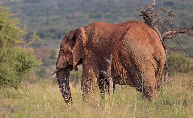 African elephant after red/brown dustbath, Pilanesberg Nationalpark, South Africa