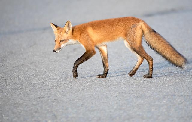 Red Fox Crossing