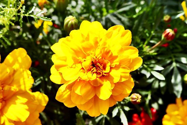 Flor a Chamonix.