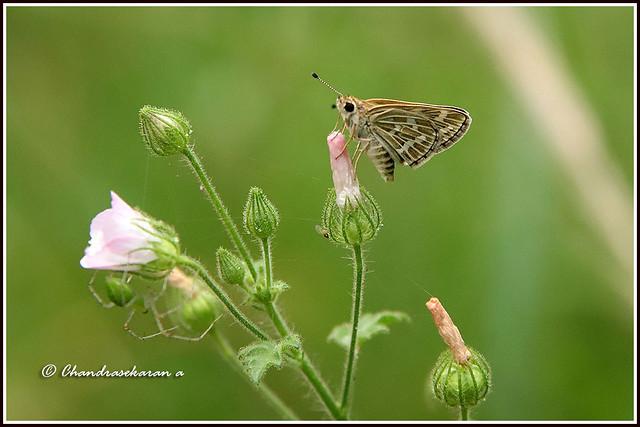 7183 - common grass dart