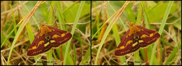 Mint moth - 3d cross-view