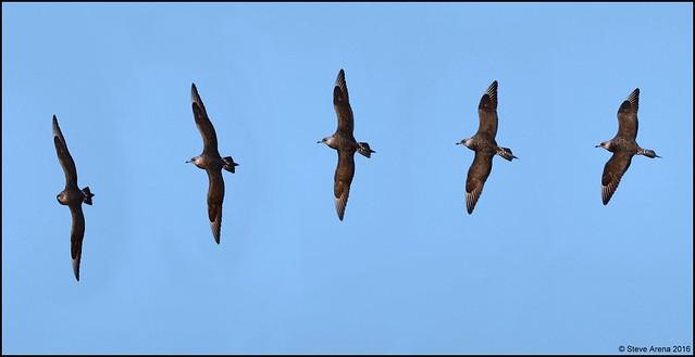 Parasitic Jaeger (Stercorarius parasiticus) Flight Sequence